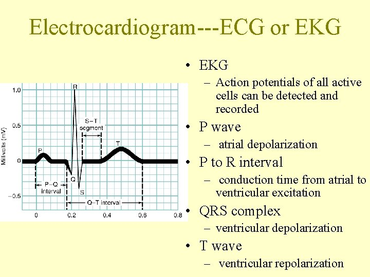 Electrocardiogram---ECG or EKG • EKG – Action potentials of all active cells can be