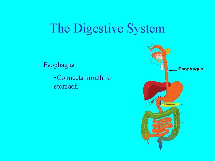 The Digestive System Esophagus • Connects mouth to stomach