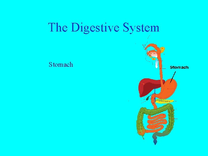 The Digestive System Stomach