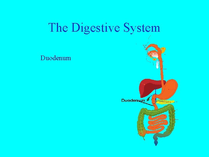 The Digestive System Duodenum