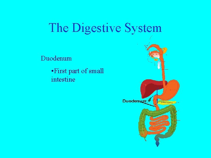 The Digestive System Duodenum • First part of small intestine