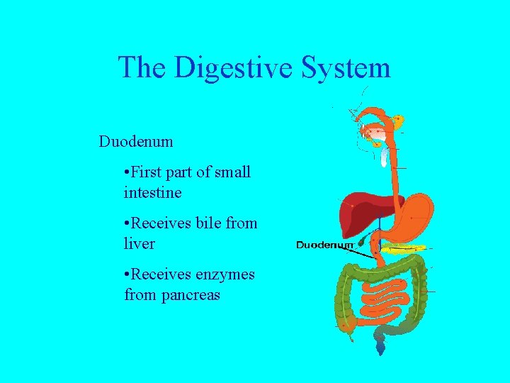 The Digestive System Duodenum • First part of small intestine • Receives bile from