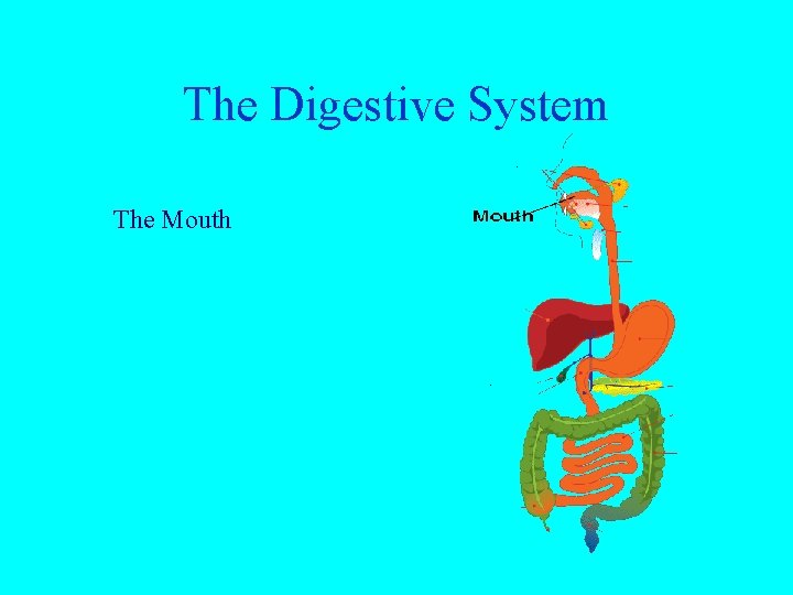 The Digestive System The Mouth