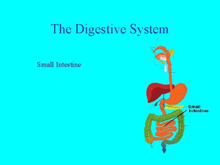 The Digestive System Small Intestine