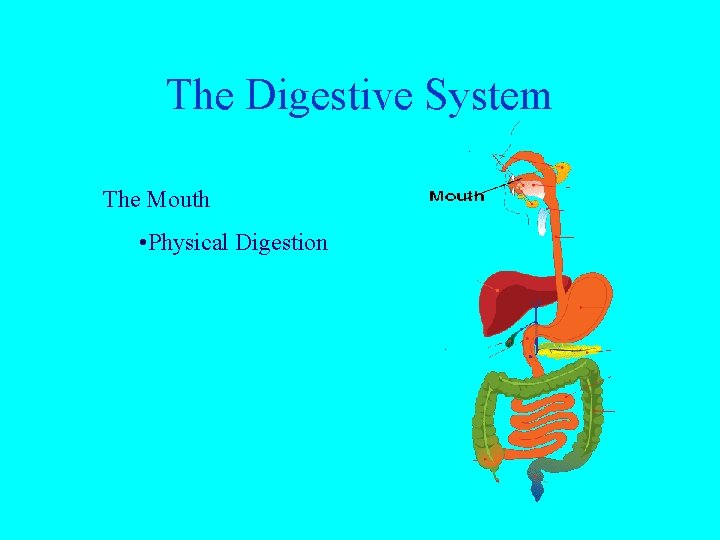 The Digestive System The Mouth • Physical Digestion