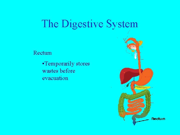 The Digestive System Rectum • Temporarily stores wastes before evacuation