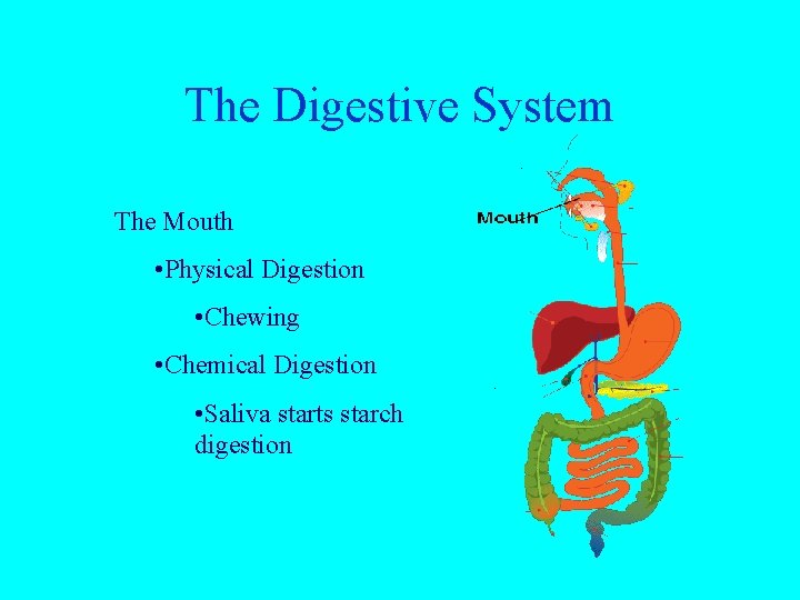 The Digestive System The Mouth • Physical Digestion • Chewing • Chemical Digestion •