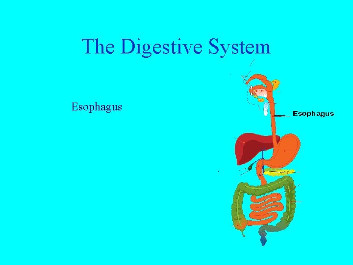 The Digestive System Esophagus