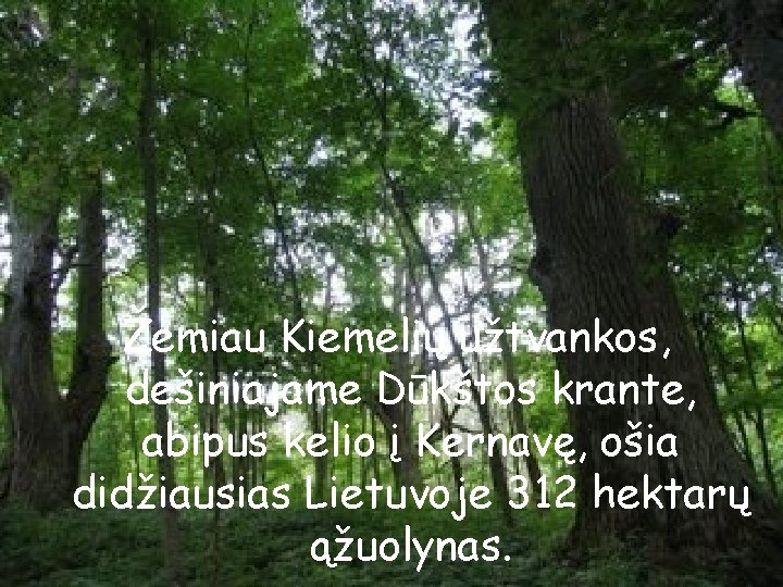 Žemiau Kiemelių užtvankos, dešiniajame Dūkštos krante, abipus kelio į Kernavę, ošia didžiausias Lietuvoje 312