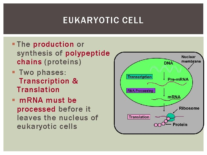 EUKARYOTIC CELL § The production or synthesis of polypeptide chains (proteins) § Two phases: