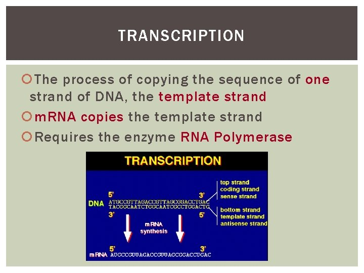 TRANSCRIPTION The process of copying the sequence of one strand of DNA, the template