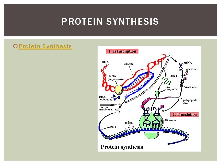 PROTEIN SYNTHESIS Protein Synthesis