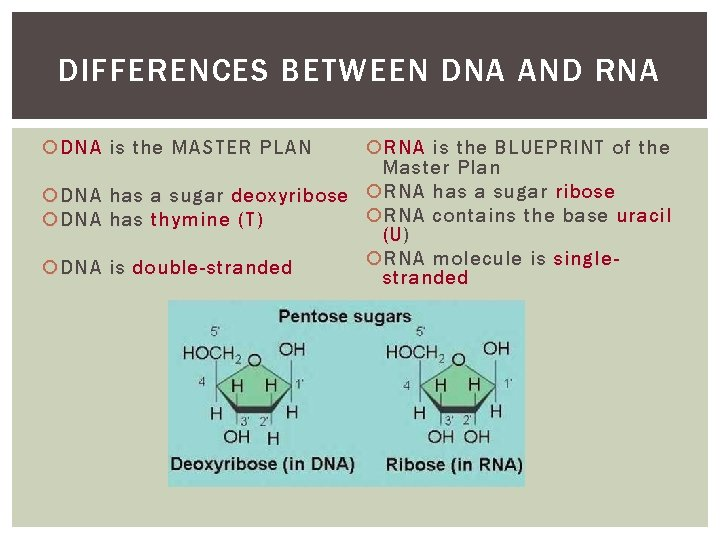 DIFFERENCES BETWEEN DNA AND RNA DNA is the MASTER PLAN RNA is the BLUEPRINT