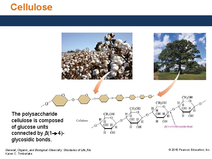Cellulose The polysaccharide cellulose is composed of glucose units connected by β(1 4)glycosidic bonds.