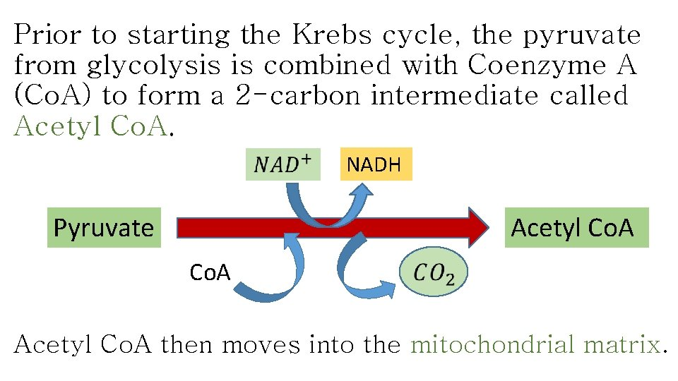 Prior to starting the Krebs cycle, the pyruvate from glycolysis is combined with Coenzyme