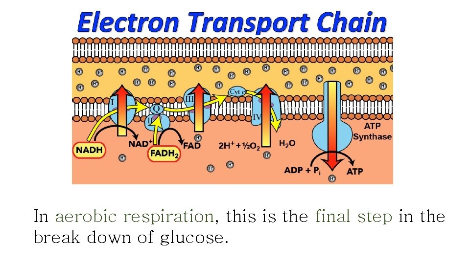 In aerobic respiration, this is the final step in the break down of glucose.