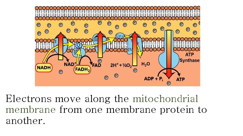 Electrons move along the mitochondrial membrane from one membrane protein to another.