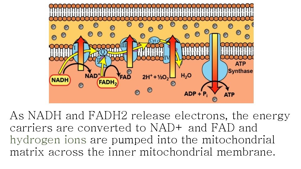 As NADH and FADH 2 release electrons, the energy carriers are converted to NAD+