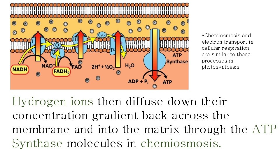 *Chemiosmosis and electron transport in cellular respiration are similar to these processes in photosynthesis