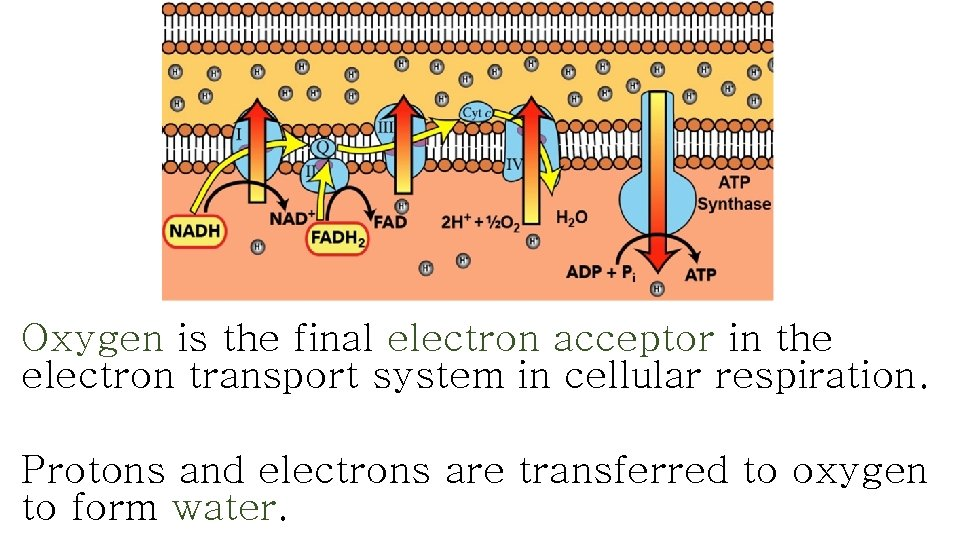 Oxygen is the final electron acceptor in the electron transport system in cellular respiration.