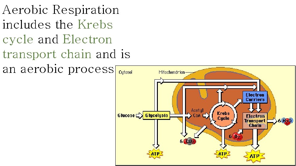 Aerobic Respiration includes the Krebs cycle and Electron transport chain and is an aerobic