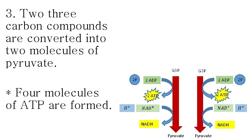 3. Two three carbon compounds are converted into two molecules of pyruvate. G 3