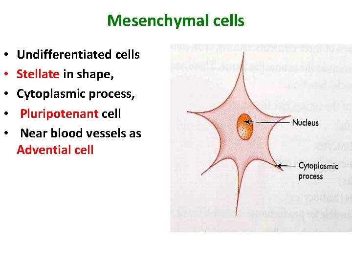 Mesenchymal cells • • • Undifferentiated cells Stellate in shape, Cytoplasmic process, Pluripotenant cell