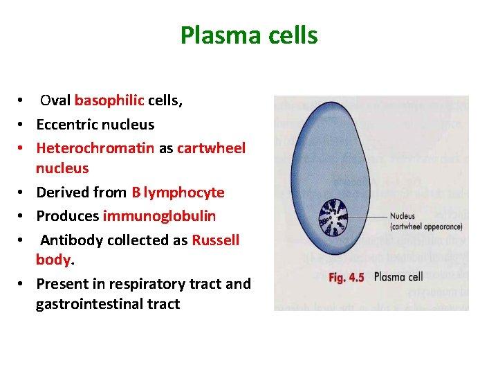 Plasma cells • Oval basophilic cells, • Eccentric nucleus • Heterochromatin as cartwheel nucleus