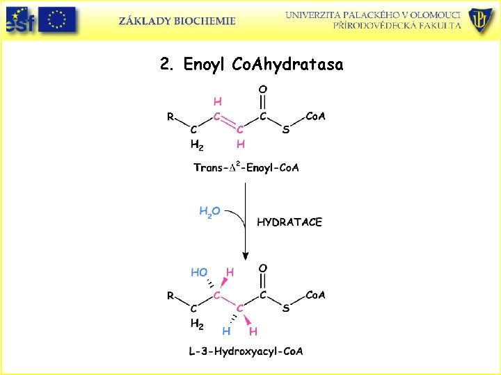 2. Enoyl Co. Ahydratasa