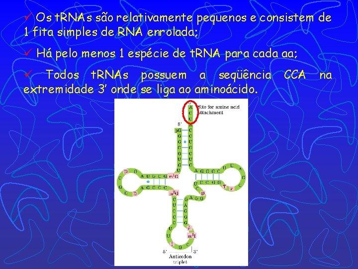ü Os t. RNAs são relativamente pequenos e consistem de 1 fita simples de