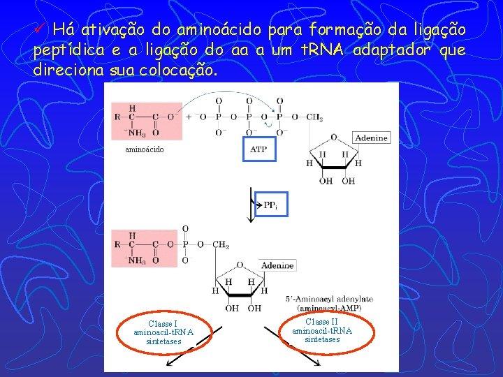 ü Há ativação do aminoácido para formação da ligação peptídica e a ligação do