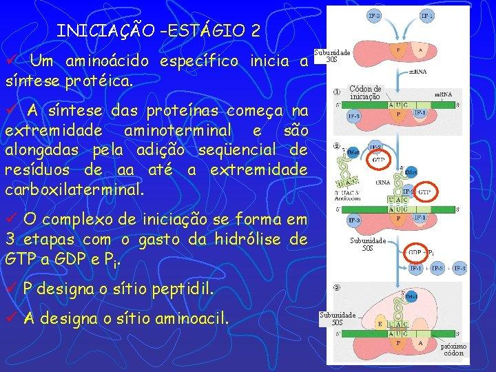 INICIAÇÃO –ESTÁGIO 2 ü Um aminoácido específico inicia a síntese protéica. ü A síntese