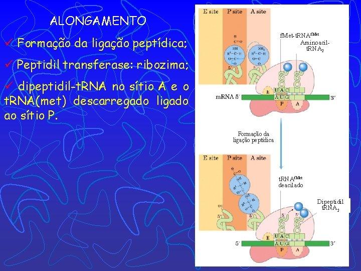 ALONGAMENTO f. Met-t. RNAf. Met Aminoacilt. RNA 2 ü Formação da ligação peptídica; ü