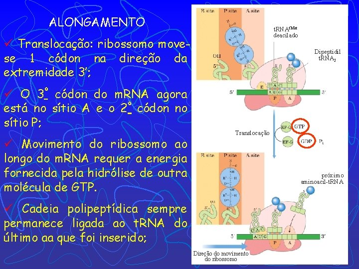 ALONGAMENTO t. RNAf. Met deacilado ü Translocação: ribossomo movese 1 códon na direção da