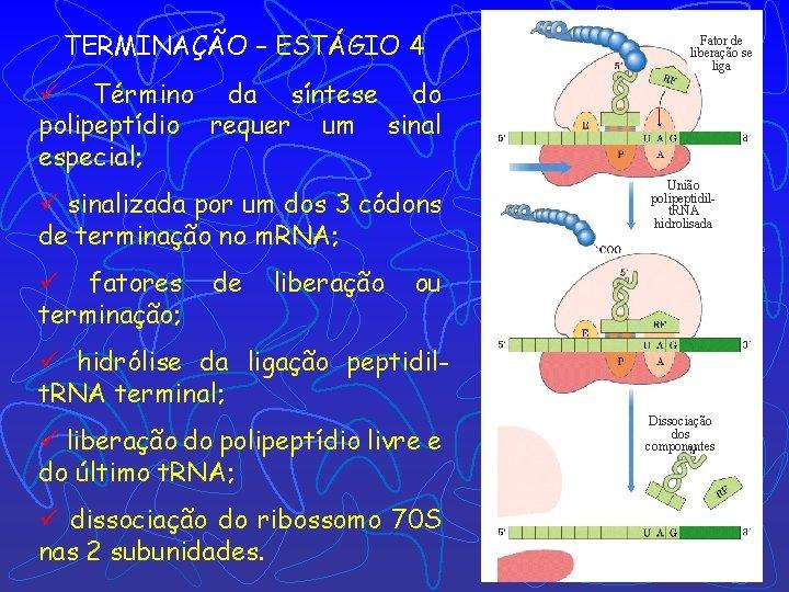 TERMINAÇÃO – ESTÁGIO 4 Fator de liberação se liga ü Término da síntese do