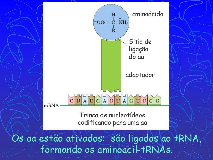aminoácido Sítio de ligação do aa adaptador Trinca de nucleotídeos codificando para uma aa