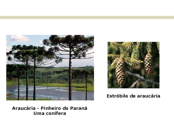 BIOMAS E FITOGEOGRAFIA DO BRASIL Estróbilo de araucária Araucária - Pinheiro do Paraná Uma