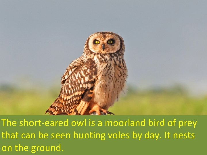 The short-eared owl is a moorland bird of prey that can be seen hunting