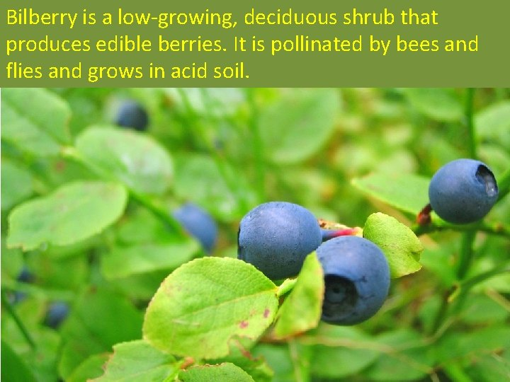 Bilberry is a low-growing, deciduous shrub that produces edible berries. It is pollinated by