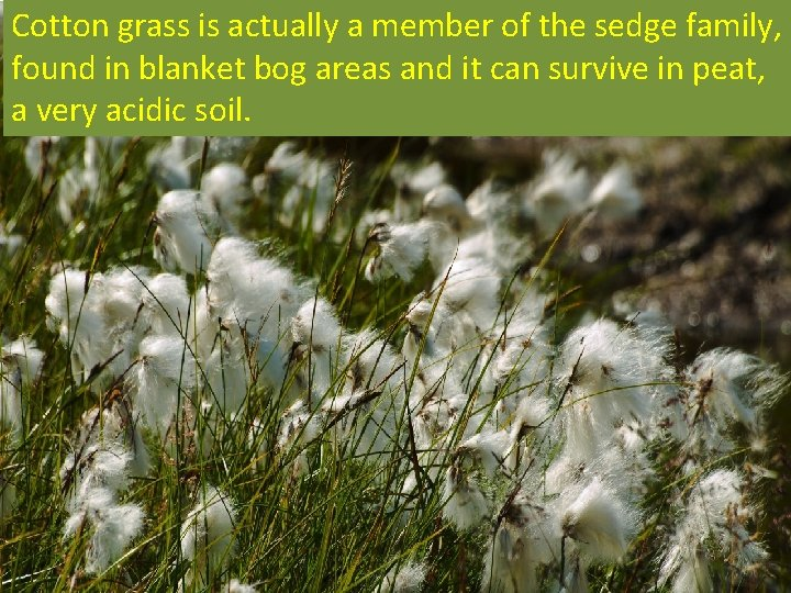 Cotton grass is actually a member of the sedge family, found in blanket bog