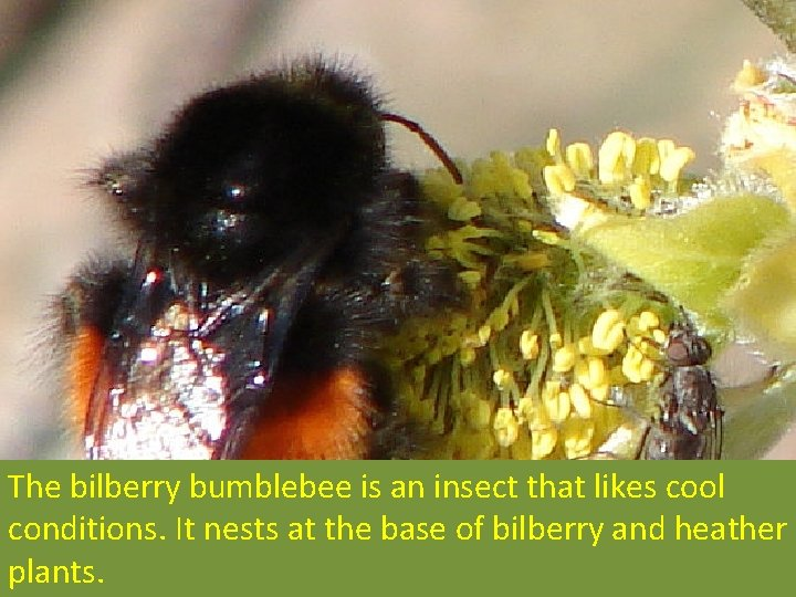 The bilberry bumblebee is an insect that likes cool conditions. It nests at the