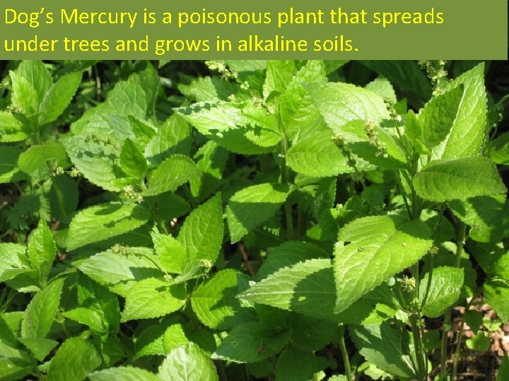 Dog's Mercury is a poisonous plant that spreads under trees and grows in alkaline