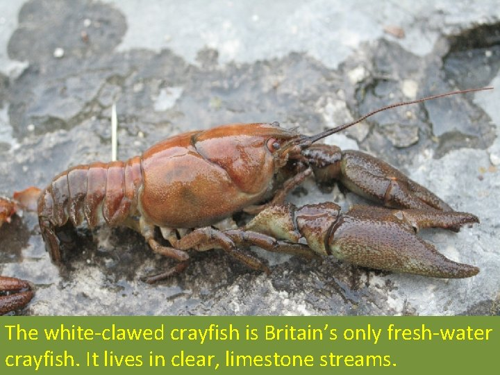 The white-clawed crayfish is Britain's only fresh-water crayfish. It lives in clear, limestone streams.