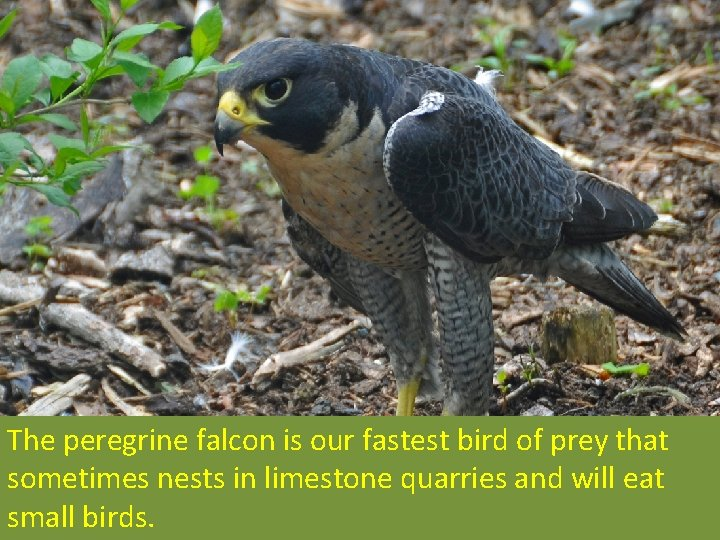 The peregrine falcon is our fastest bird of prey that sometimes nests in limestone