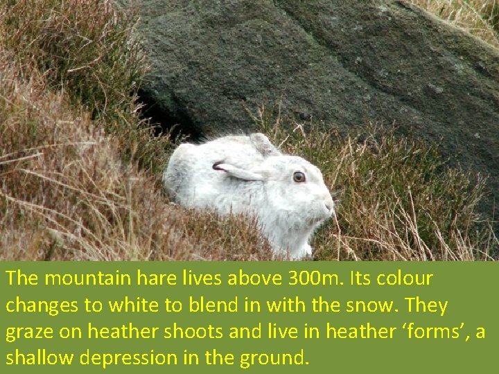 The mountain hare lives above 300 m. Its colour changes to white to blend