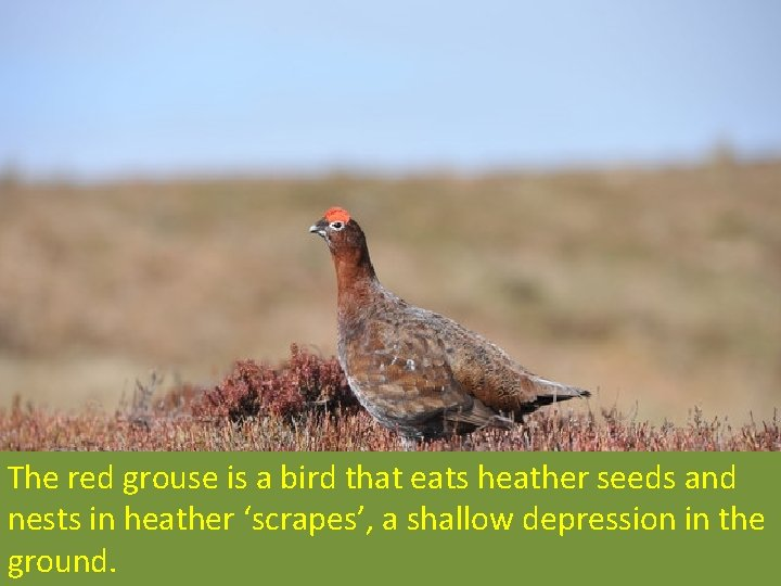 The red grouse is a bird that eats heather seeds and nests in heather