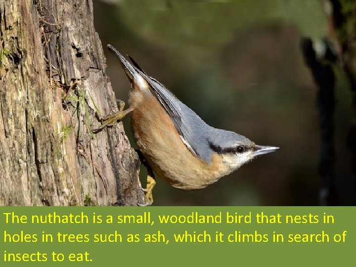 The nuthatch is a small, woodland bird that nests in holes in trees such