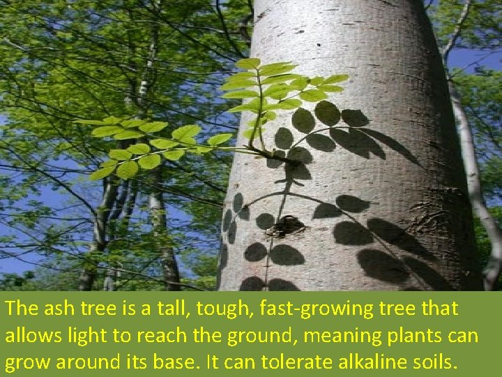 The ash tree is a tall, tough, fast-growing tree that allows light to reach