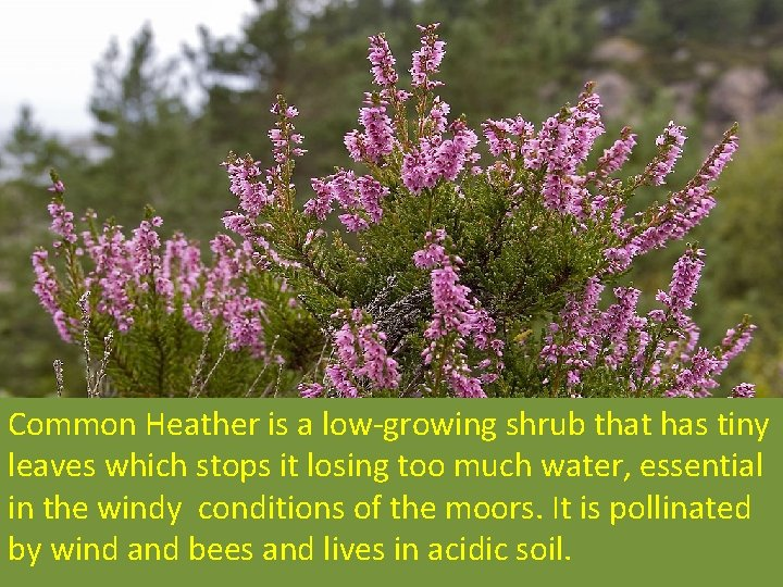 Common Heather is a low-growing shrub that has tiny leaves which stops it losing