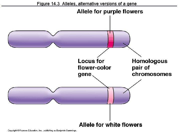 Figure 14. 3 Alleles, alternative versions of a gene